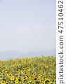 해바라기,꽃,식물 47510462