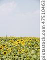 해바라기,꽃,식물 47510463