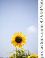 해바라기,꽃,식물 47510466