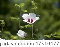 무궁화,꽃,식물 47510477