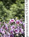 무궁화,꽃,식물 47510478