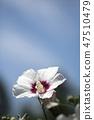무궁화,꽃,식물 47510479