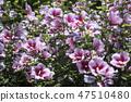 무궁화,꽃,식물 47510480