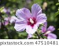무궁화,꽃,식물 47510481