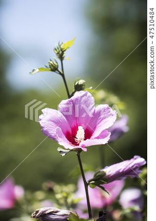 무궁화,꽃,식물 47510484