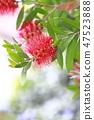 Red brushwood 47523888