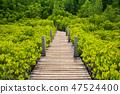 Wooden bridge at Mangroves in Tung Prong Thong or Golden Mangrov 47524400