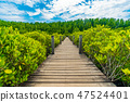 Wooden bridge at Mangroves in Tung Prong Thong or Golden Mangrov 47524401