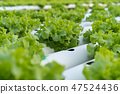Green Oak hydroponics vegetable 47524436