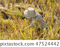 farmer using sickle to harvesting rice 47524442