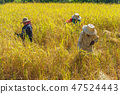 farmer using sickle to harvesting rice 47524443