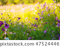 cosmos flower with water drop 47524446