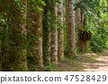 alley of big trees in Amber mountain Madagascar 47528429