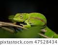 chameleon, Amber Mountain Madagascar 47528434