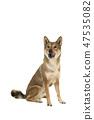 Skikoku dog sitting and licking its mouth 47535082