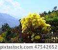 Himalayas yellow chrysanthemum on wicker fence. 47542652