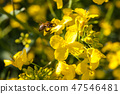 Yellow blossoms of rape plant, detailed view 47546481