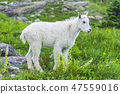 mountain goats  green grass field. 47559016