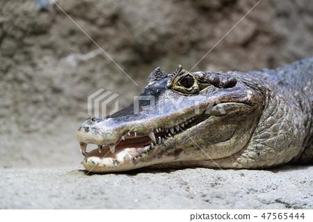 안경 카이만 센다이 우미의 숲 수족관 Spectacled caiman 47565444