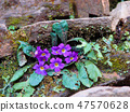 Himalayan flowers growing from stone stairs. 47570628