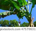 Banana tree growing in Himalayan jungle. Trekking route to Annapurna - Nepal. Himalaya. 47570631
