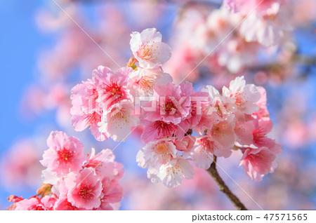 櫻花,開花,花朵 47571565