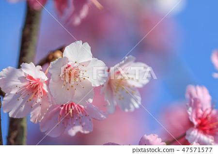 櫻花,開花,花朵 47571577