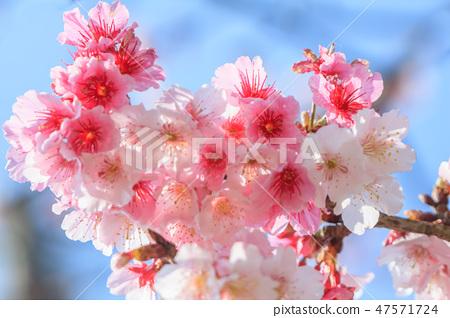 櫻花,開花,花朵 47571724