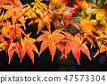 Colorful japanese maple leaves during momiji season at Kinkakuji garden, Kyoto, Japan 47573304