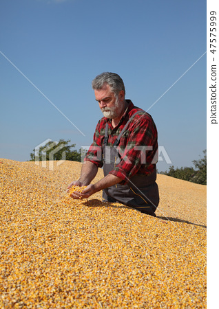 Farmer and corn crop pile after harvest 47575999