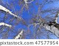 자작나무,빠상초원,내몽고,중국 47577954