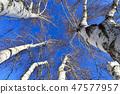 자작나무,빠상초원,내몽고,중국 47577957
