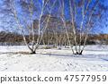 자작나무,빠상초원,내몽고,중국 47577959