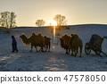 낙타,빠상초원,내몽고,중국 47578050