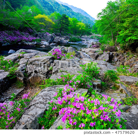 달궁,수달래,철쭉,지리산계곡,수달래철쭉, 47579620