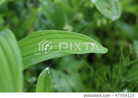 둥글레잎과 물방울 47589125