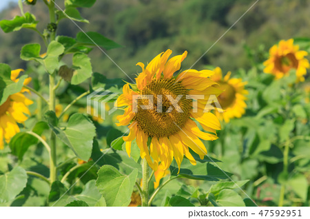 Sunflower field, sun flower, sunflower garden 47592951