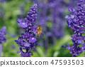 鼠尾草花,蝴蝶,紫色 47593503