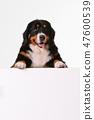 Bernese Mountain Dog on the white background 47600539