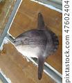 Sunfish 47602404