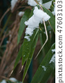 closeup of snow on bamboo leaves 47603103