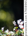 Baikawauran Photographed at Kochi Prefectural Makino Botanical Garden 47608965