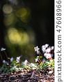 Baikawauran Photographed at Kochi Prefectural Makino Botanical Garden 47608966