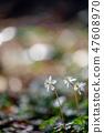 Baikawauran Photographed at Kochi Prefectural Makino Botanical Garden 47608970