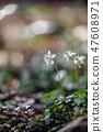 Baikawauran Photographed at Kochi Prefectural Makino Botanical Garden 47608971