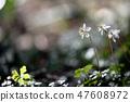 Baikawauran Photographed at Kochi Prefectural Makino Botanical Garden 47608972