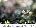 Baikawauran Photographed at Kochi Prefectural Makino Botanical Garden 47608973