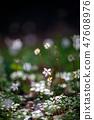 Baikawauran Photographed at Kochi Prefectural Makino Botanical Garden 47608976
