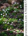 Baikawauran Photographed at Kochi Prefectural Makino Botanical Garden 47608977