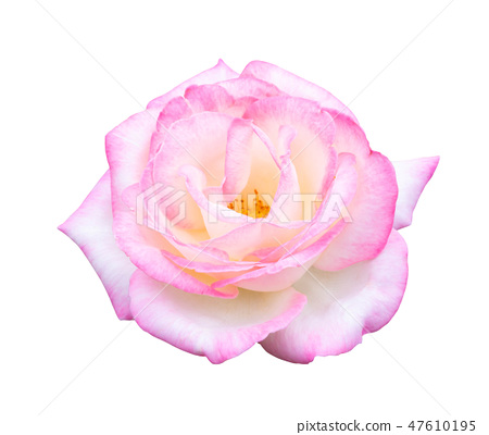 Beautiful white mix pink rose flower isolated 47610195